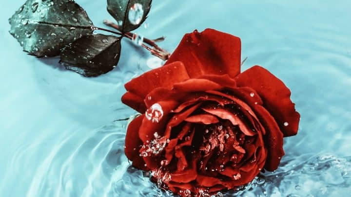 red rose in light blue water