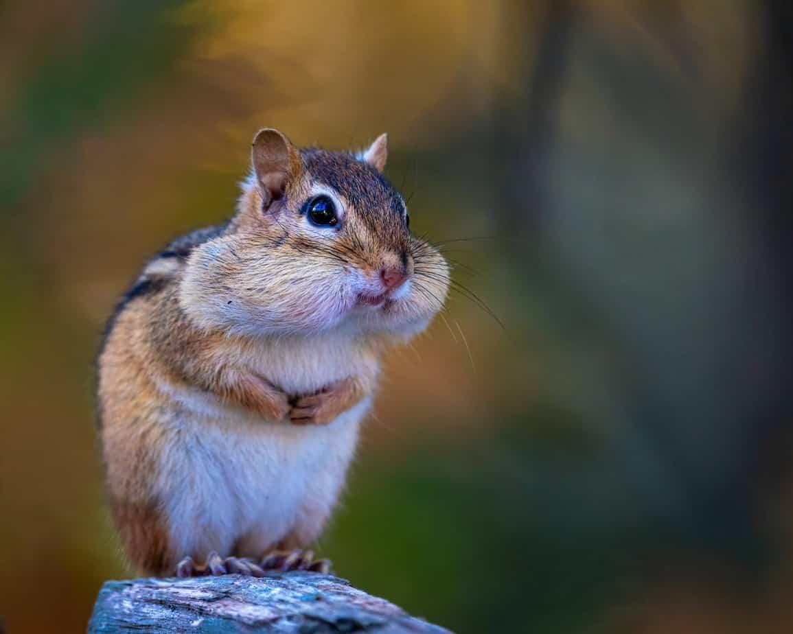 animal cute fur rodent